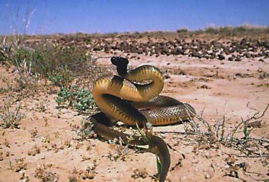 Loài rắn độc nhất thế giới
