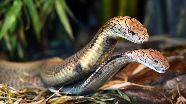 Vườn thú tạo điều kiện đặc biệt để 2 con rắn hổ mang chúa giao phối