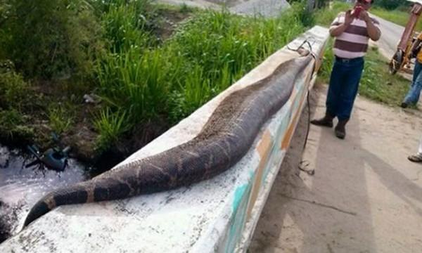 Giết rắn khổng lồ vì nghi nuốt chửng bé trai