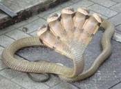 Hóa giải tin đồn rắn 5 đầu mới xuất hiện tại Trung Quốc