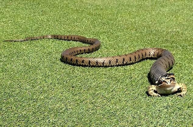 Trận golf phải dừng lại vì rắn bò vào sân nuốt ếch