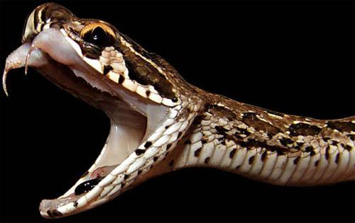 Loài rắn cắn