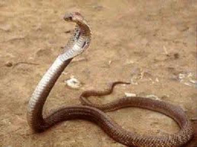 Nguy kịch vì bị rắn cắn vào mắt khi đang ngủ trưa