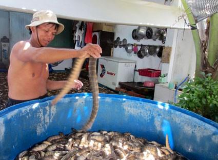 Săn rắn biển làm mồi nhậu: Nguy hiểm mà vẫn ham