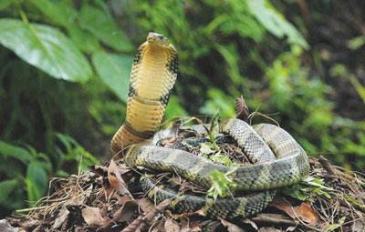 Chiêm ngưỡng hình ảnh loài rắn nặng hơn… 1 tấn