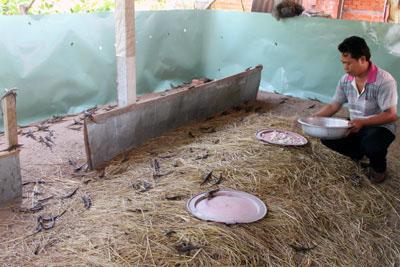 Anh Đoàn Hoài Linh: Vượt khó nhờ mô hình nuôi rắn mối