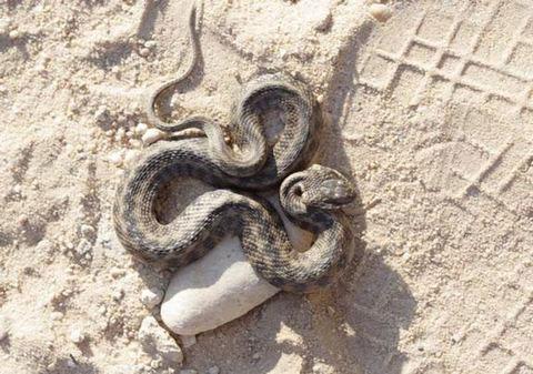 Ngụy trang giống rắn độc để tự vệ